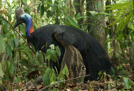 endnagered cassowary Mission Beach