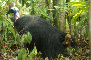 living with cassowaries